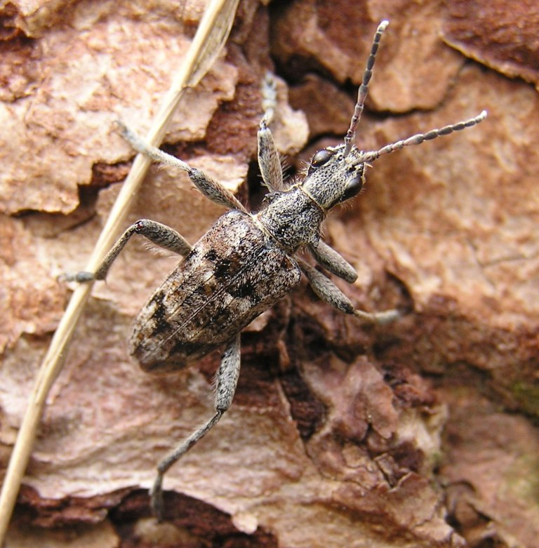 Rhagium inquisitor (Linnaeus, 1758)