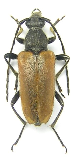 Paracorymbia picticornis (Reitter, 1885)