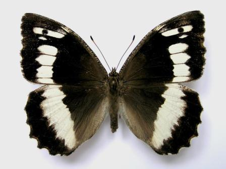 Brintesia circe (Fabricius, 1775)